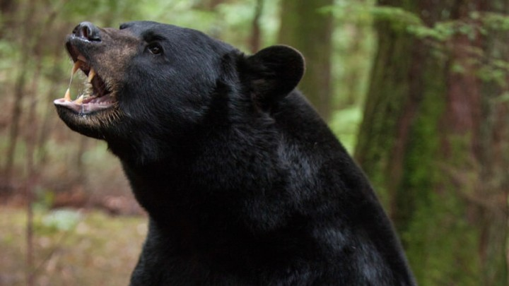 black-bear-backcountry-movie_h